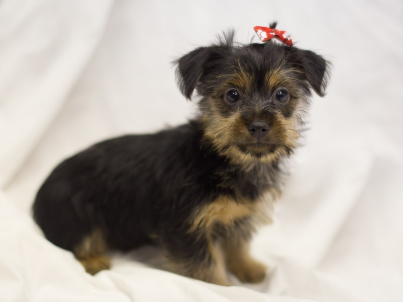 Silky Terrier-DOG-Female-Black and Tan-1798286-Petland Wichita, KS