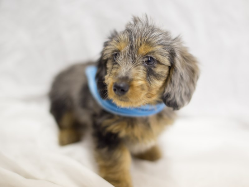 Miniature Dachshund-DOG-Male-Dapple-1803708-Petland Wichita, KS