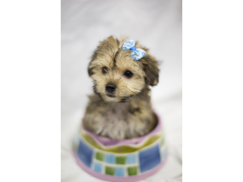 Yorkie Poo-DOG-Female-Sable-1803724-Petland Wichita, KS