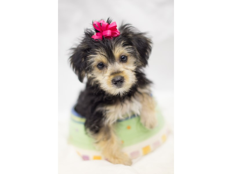 Yorkie Poo-DOG-Male-Black and Tan-1803721-Petland Wichita, KS