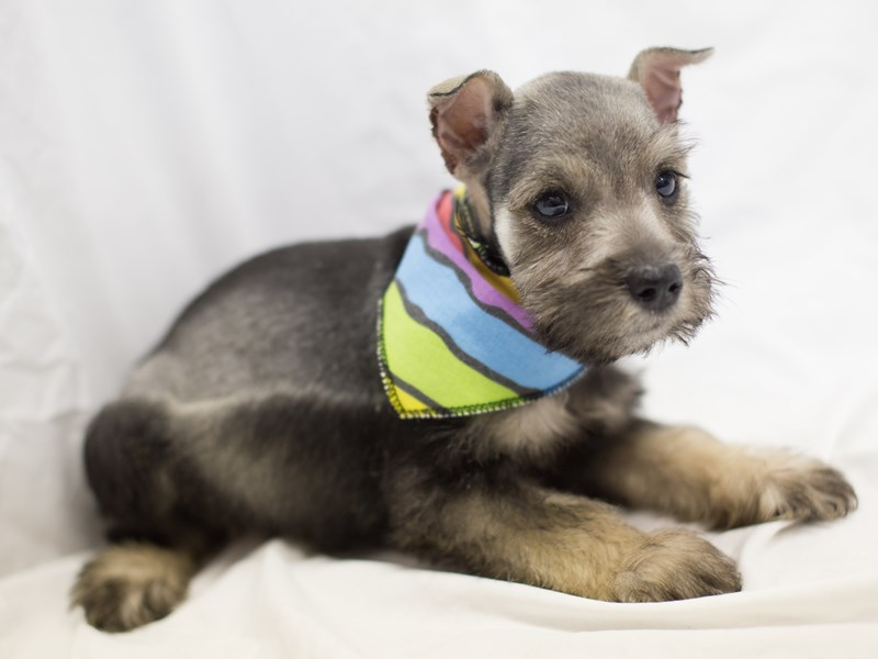 Miniature Schnauzer-DOG-Male-Salt and Pepper-1814060-Petland Wichita, KS