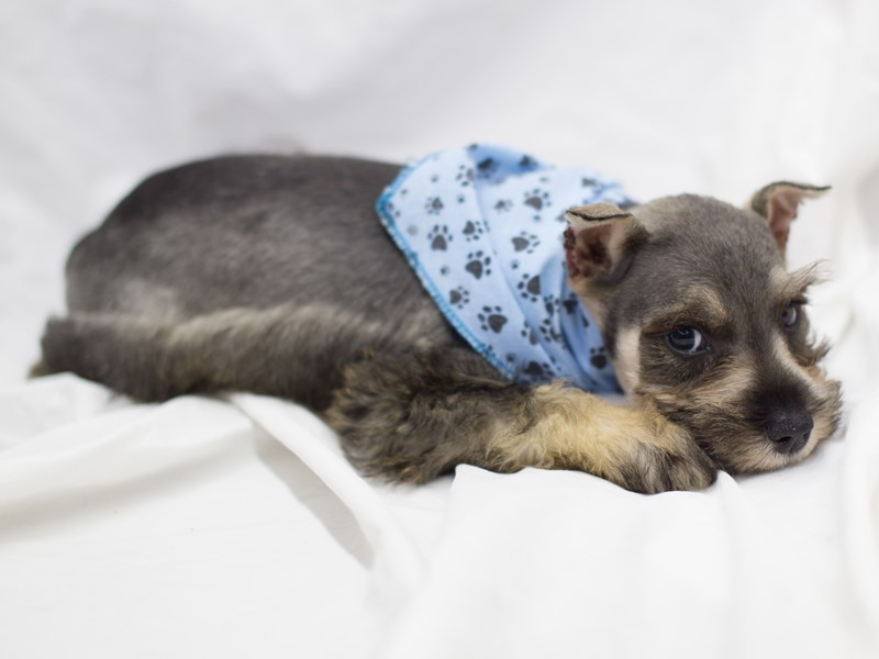 Miniature Schnauzer-DOG-Male-Salt and Pepper-1814057-Petland Wichita, KS