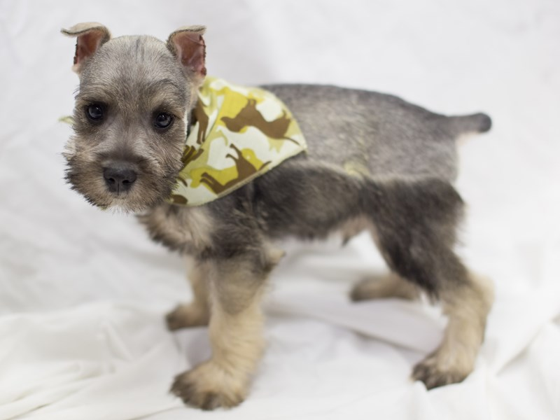 Miniature Schnauzer-DOG-Male-Salt and Pepper-1814056-Petland Wichita, KS