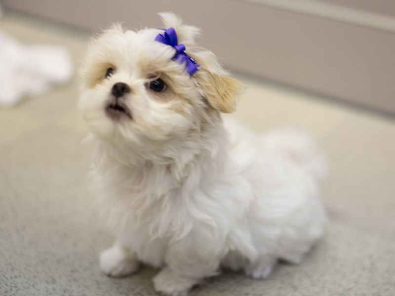 Bichon Frise/Japanese Chin-DOG-Female-White and Lemon-1811539-Petland Wichita, KS
