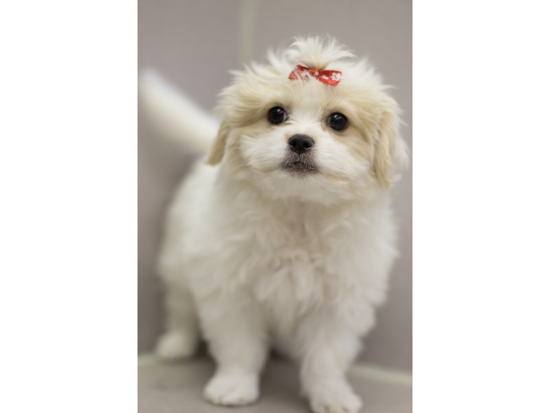 Bichon Frise/Japanese Chin-Female-White and Lemon-1811538-Petland Wichita, KS