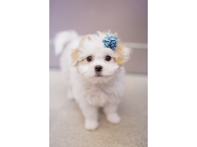 Bichon Frise/Japanese Chin-Female-White and Lemon-1811540-Petland Wichita, KS