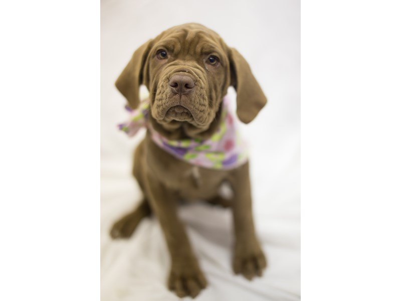 Neapolitan Mastiff-Female-Mahogany-1819042-Petland Wichita, KS