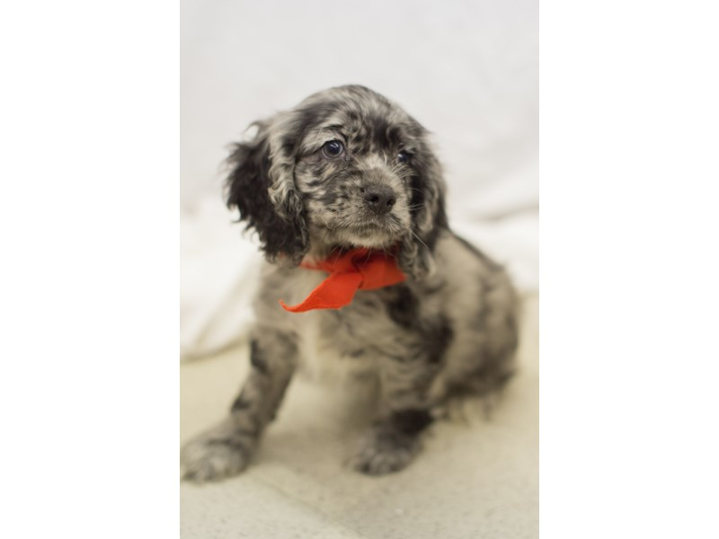 Cocker Spaniel-DOG-Male-Blue Merle-1818910-Petland Wichita, KS