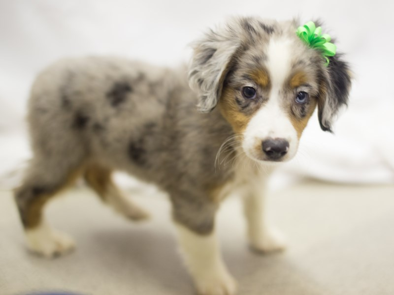 Miniature Australian Shepherd-DOG-Female-Blue Merle-1819095-Petland Wichita, KS
