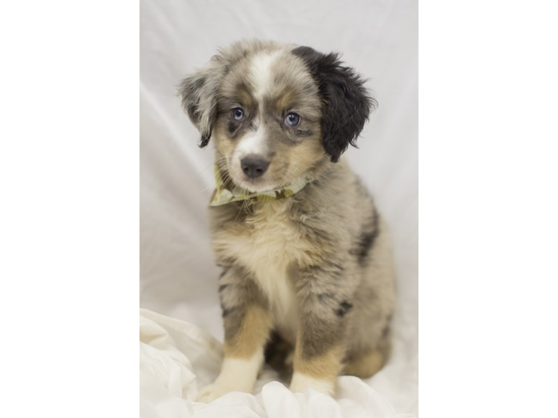 Miniature Australian Shepherd-DOG-Male-Blue Merle-1819093-Petland Wichita, KS