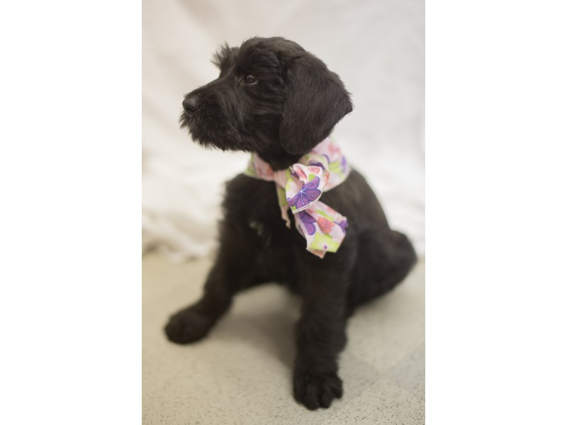Giant Schnauzer-Female-Black-1818998-Petland Wichita, KS