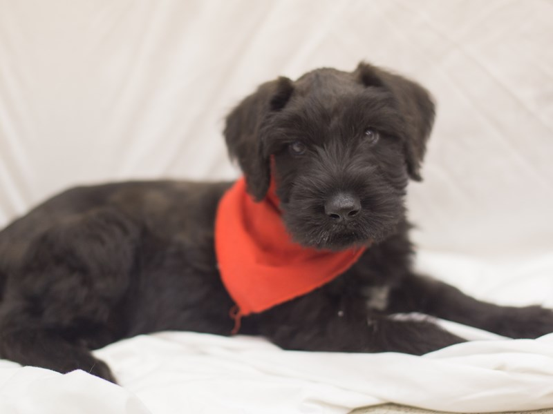 Giant Schnauzer-Male-Black-1818961-Petland Wichita, KS