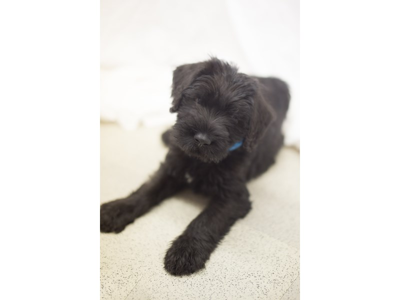 Giant Schnauzer-DOG-Male-Black-1818959-Petland Wichita, KS