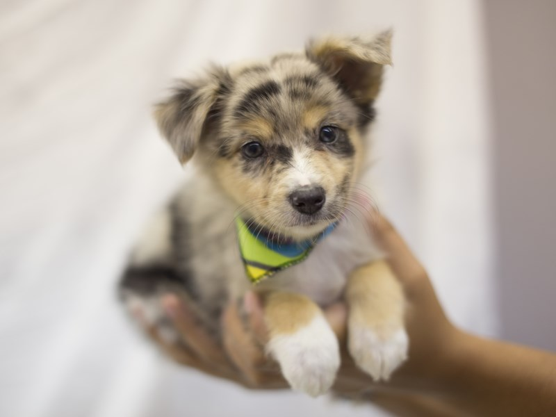 Miniature Australian Shepherd/Australian Shepherd-DOG-Male-Blue Merle-1818868-Petland Wichita, KS