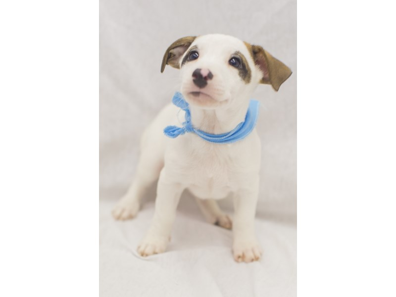 Jack Russell Terrier-DOG-Male-White with Brown Markings-1824219-Petland Wichita, KS