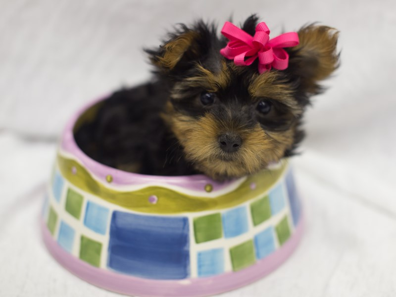 Yorkshire Terrier-DOG-Female-Black and Tan-1824581-Petland Wichita, KS
