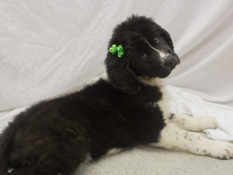Newfoundland-Female-Black and White-1824243-Petland Wichita, KS
