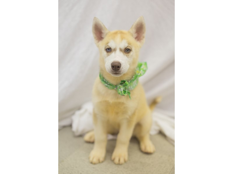 Siberian Husky-DOG-Female-Red and White-1824176-Petland Wichita, KS