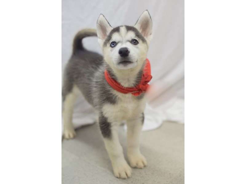 Siberian Husky-DOG-Male-Black and White-1824172-Petland Wichita, KS