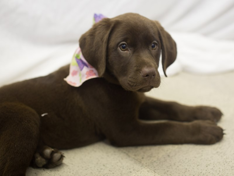 Labrador Retriever-DOG-Female-Chocolate-1824125-Petland Wichita, KS