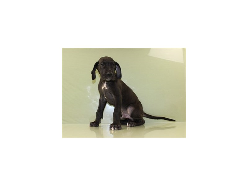 Great Dane-DOG-Male-Black-1828391-Petland Wichita, KS