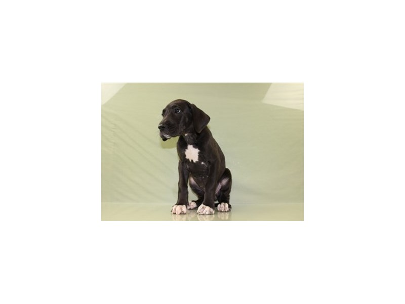 Great Dane-DOG-Female-Black-1828392-Petland Wichita, KS