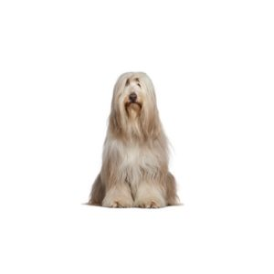 bearded-collie
