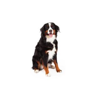 bernese-mountain-dog