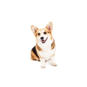 cardigan-welsh-corgi