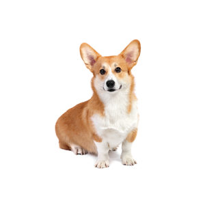Pembroke Welsh Corgi Puppies Breed Info - Petland Wichita, KS