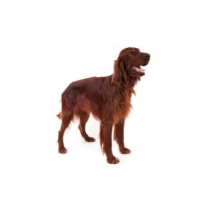 irish-setter - Petland Wichita