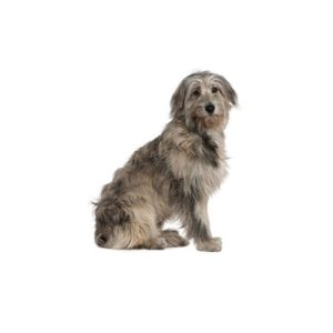 irish-wolfhound - Petland Wichita