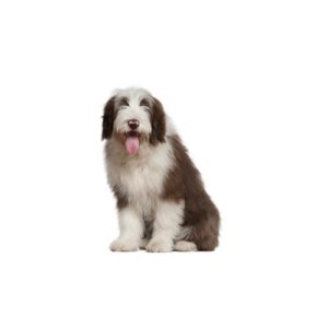 old-english-sheepdogjpg