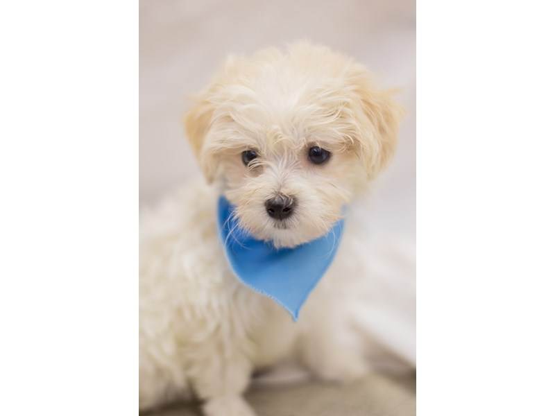 Toy MaltiPoo-DOG-Male-White-1803717-Petland Wichita, KS