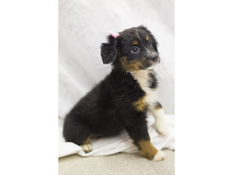 Miniature Australian Shepherd-DOG-Female-Black Tri-1819097-Petland Wichita, KS
