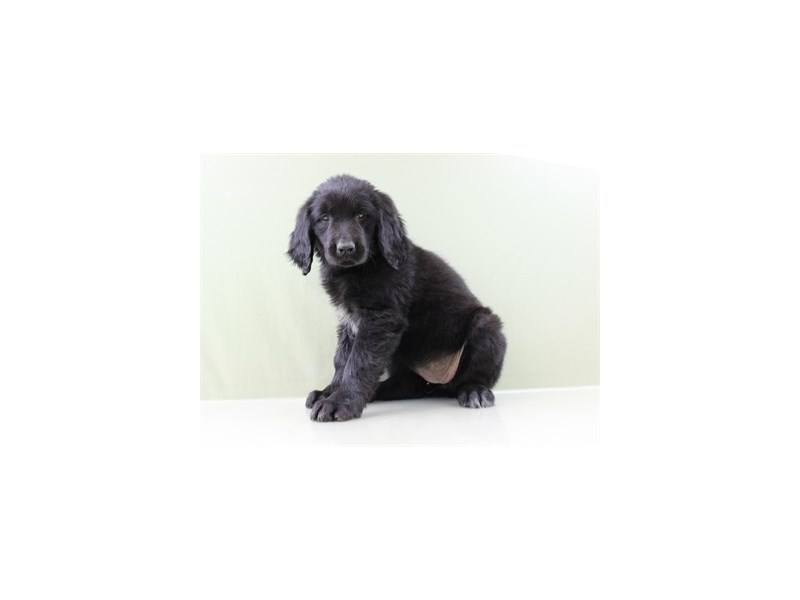 Newfoundland-DOG-Female-Black-1834379-Petland Wichita, KS