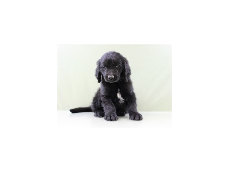 Newfoundland-DOG-Male-Black-1834382-Petland Wichita, KS