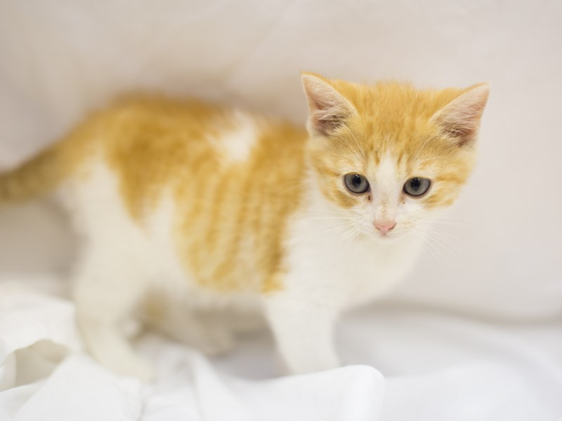 Adopt a Pet Domestic Short Hair-Male-Orange and White-1827937-Petland Wichita, KS