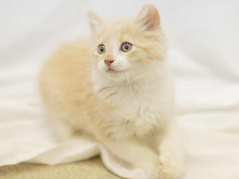 Adopt a Pet Domestic Short Hair-CAT-Male-Light Orange and White-1829239-Petland Wichita, KS
