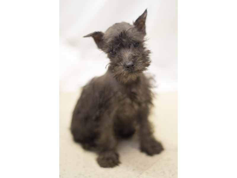 Miniature Schnauzer-DOG-Male-black-1829410-Petland Wichita, KS