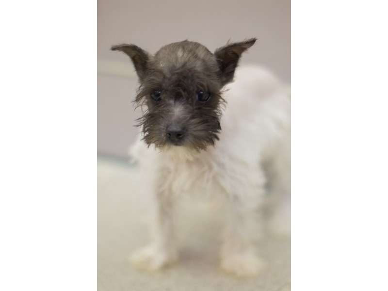 Miniature Schnauzer-DOG-Female-White and Black-1829416-Petland Wichita, KS
