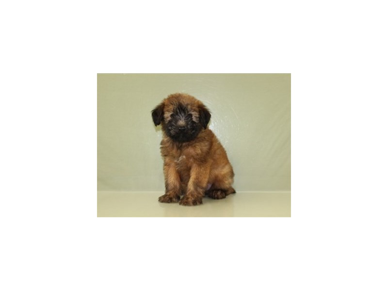 Soft Coated Wheaten Terrier-DOG-Male-Wheaten-1839464-Petland Wichita, KS