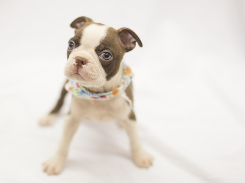 Boston Terrier-DOG-Female-Red and White-1840749-Petland Wichita, KS