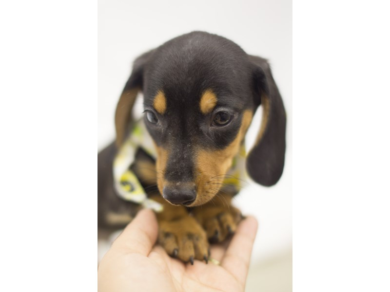 Miniature Dachshund-DOG-Male-Black and Tan-1840743-Petland Wichita, KS