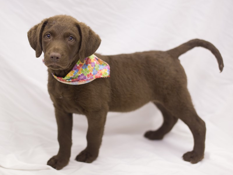 Chesapeake Bay Retriever-Female-Dark Brown-1840532-Petland Wichita, KS