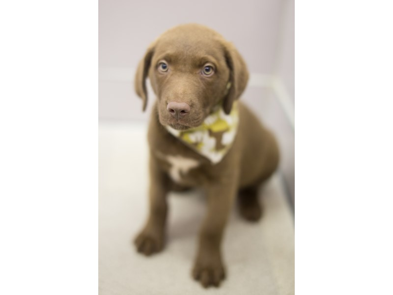 Chesapeake Bay Retriever-Male-Dark Brown-1840527-Petland Wichita, KS