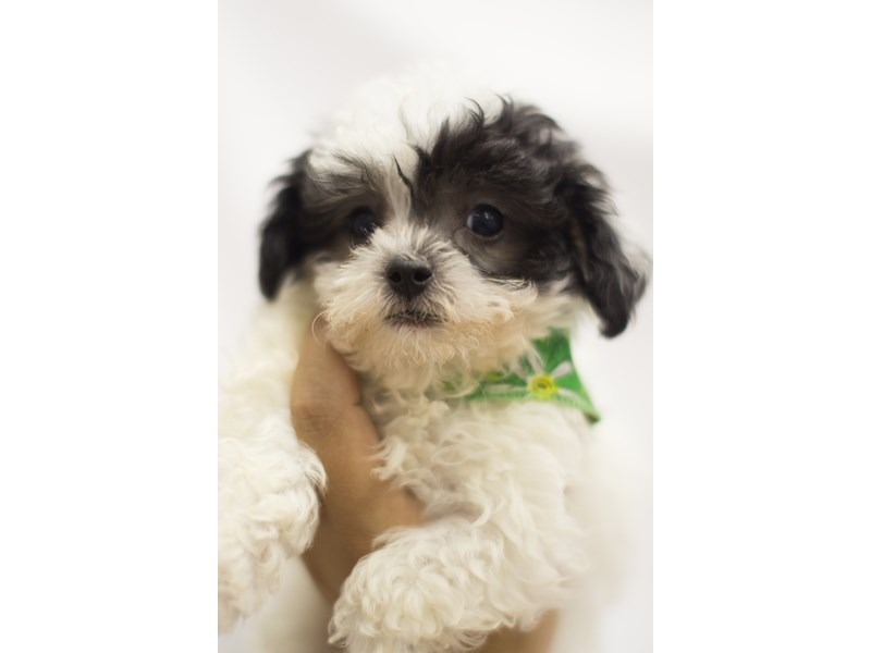 Toy ShihPoo-DOG-Male-Black and White-1840477-Petland Wichita, KS