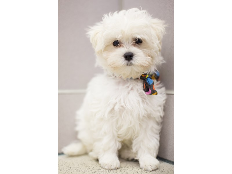 Malshipoo-Male-White-1834962-Petland Wichita, KS