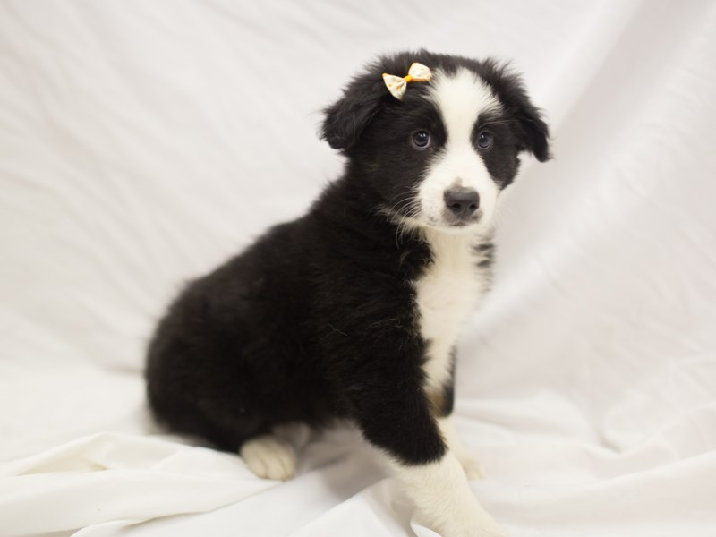 Miniature Australian Shepherd-DOG-Female-Tri Color-1840709-Petland Wichita, KS