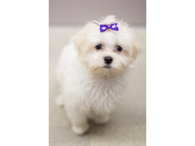 Malshipoo-Female-Sable and White-1834965-Petland Wichita, KS